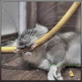 крысы повреждают эл.проводку