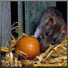 крысы уничтожают яйца