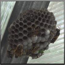 осы строительство гнезда